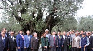 13 milyon zeytin ağacının bulunduğu Akhisar'da hasat başladı