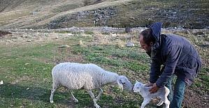 (Özel Haber) Uludağ'da koyunların zirve kampı sona erdi