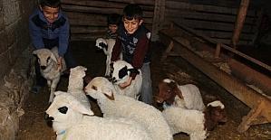 Aksaray'da koyunlar kuzulama dönemine başladı