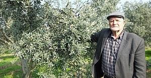 Gemlik zeytini Balıkesirli çiftçilerin yüzünü güldürdü