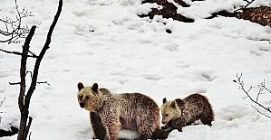 Tunceli'de anne ve yavru ayı, kış uykusu yerine gezmeyi tercih etti