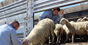 Genç çiftçilere hibe koyun desteği