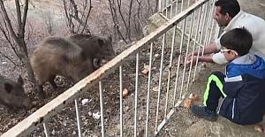 Tunceli'de, yaban domuzları şehre inmeye devam ediyor