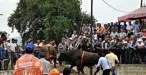 180 pehlivan boğa kozlarına Atça'da paylaştı