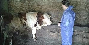 Bitlis'te damızlık boğa tespiti