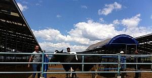 Düve ve inekler açık artırma ile satılacak