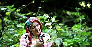 (Özel Haber) Dünyanın en büyük ıhlamur ormanında hasat başladı
