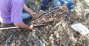 Üniversite öğrencisi çoban yaralı Karaca yavrusunu kurtardı.