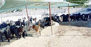 Besni'de kurbanlık satışları başladı