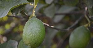Dalaman'da limon ihalesi