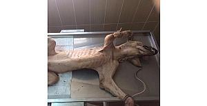 Hasta köpek tedavi altına alındı