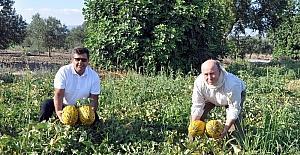 (Özel haber) Kırkağaç kavununda ilk hasat yapıldı