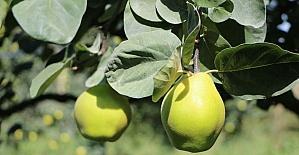 (Özel Haber) Sakarya'da ayva hasadı Ekim ayında başlıyor