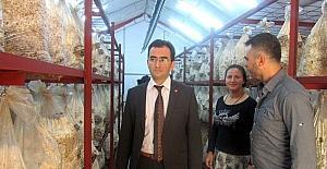 Edremit'te istiridye mantarı genç girişimcilerin geçim kaynağı oldu
