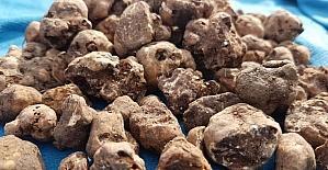 (Özel Haber) Trüf mantarını köpekler buluyor, kilosu 3 bin Euro'dan alıcı buluyor