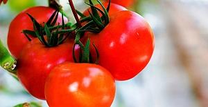 Türk domatesi Rusya'ya adeta akacak