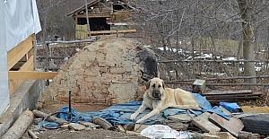 (Özel) Kayıp 5 kişilik aileye ait çoban köpekleri, enkaz alanından ayrılmıyor