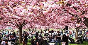 Kiraz ağaçları çiçek açtı Japonlar hayran kaldı