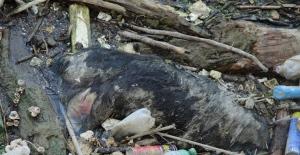Büyük Menderes Nehri'nde hayvan leşleri tehlike saçıyor