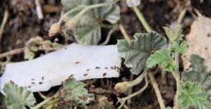 İstilacı böcekler İç Anadolu'nun diğer illerinde de görüldü