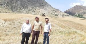 Sungurlu'da buğday hasadı başladı