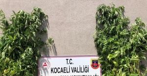 Kocaeli'de ormanlık alanda ekili 3 bin 620 kök kenevir imha edildi