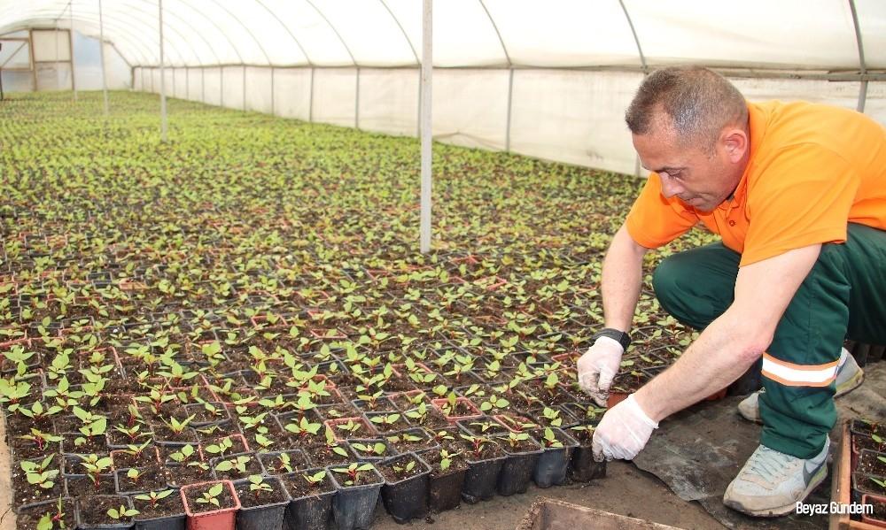 Çankaya'da kışlık çiçek için üretim başladı