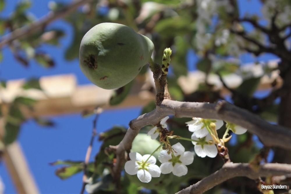 Meyveli ağacın çiçek açması şaşırttı