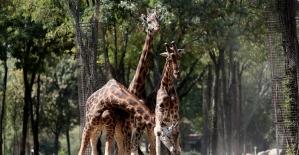 (Özel) Zürafaların keyifli oyunları...