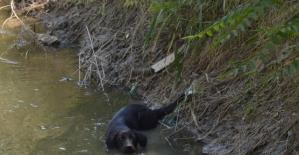 Sıcaktan bunalan sokak köpeği kendini sulama kanalına attı