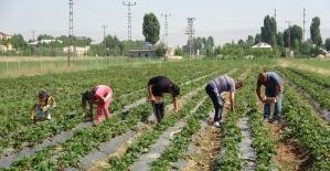 Muş'ta devlet destekli çilek bahçelerinde hasat zamanı