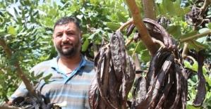 Üretici, hırsız korkusu ile keçiboynuzunu 1 ay erken hasat etti