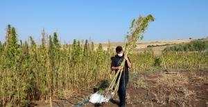 Yozgat Bozok Üniversitesinde kenevir hasadı başladı