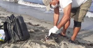Kuşadası'nda ölen yeşil kaplumbağa sahile vurdu