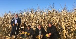 Şanlıurfa'da mısır tarlada kaldı