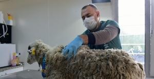 Bataklığa saplanan koyun kurtarıldı