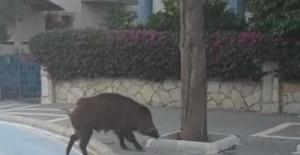 Yaban domuzu Marmaris sokaklarında korkusuzca gezdi