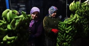 Ekvator krizi muz üreticilerini sevindirdi (Özel)
