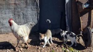 Horoz ile kedilerin dostluğundan insanlığa ders