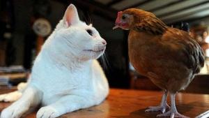 Tavuk ve kediden dostça oyun